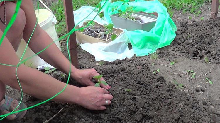 Когда высаживать огурцы в грунт