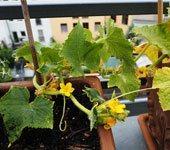 Как выращивать огурцы в домашних условиях