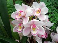наземные орхидеи