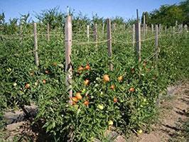 Выращивание томатов в открытом грунте