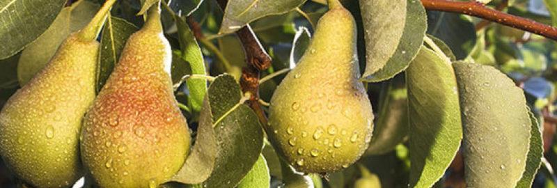 Как вырастить грушу