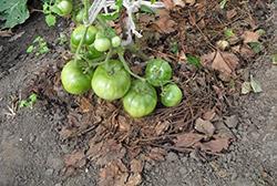 лучшая мульча для томатов