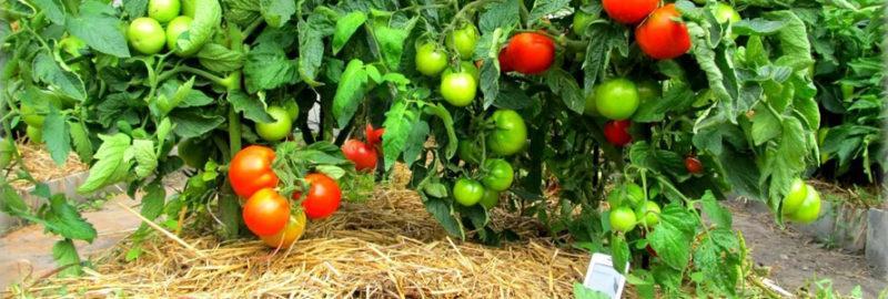 мульча для томатов