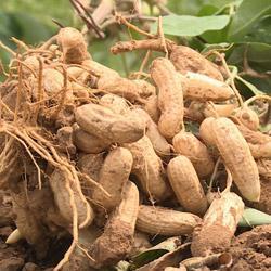 как вырастить арахис на огороде